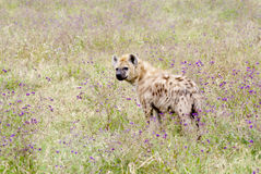 Hyena in high grass. Hyena in the high grass with purple flowers. Hyena is looking back Stock Images