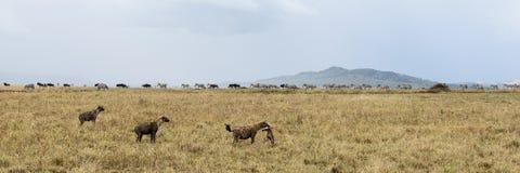 Hyena holding a prey, Serengeti, Tanzania Royalty Free Stock Image