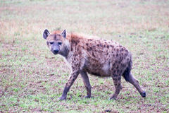 Hyena hunting Stock Images
