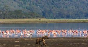 Hyena is hunting for flamingos. Nakuru lake Stock Image