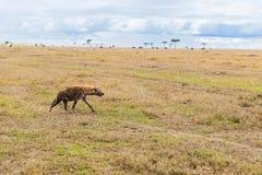 Hyena hunting in savannah at africa Royalty Free Stock Photography
