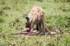Hyena hunting, Serengeti national park, Tanzania, Africa Royalty Free Stock Photography