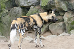 Hyena  (Hyaenidae) Stock Photography