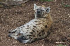 Hyena i den Sanka Louis Zoo Royaltyfria Foton