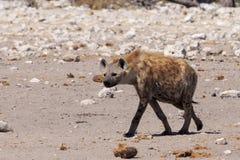 Hyena i Etosha Parc Namibia Royaltyfri Foto