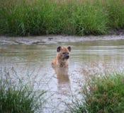 Hyena i floden i en modig reserv Arkivfoton