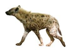 hyena Isolerat över vit arkivbild