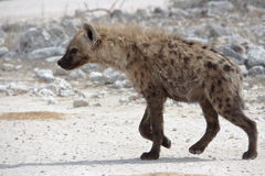 Hyena. In its natural surroundings Stock Image