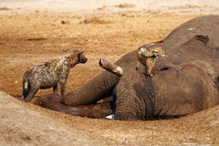 Hyena and  Jackal looking forward to a big meal. African elephant died in a waterhole during the drought, Black-backed jackals and spotted hyena feed from the Royalty Free Stock Photo
