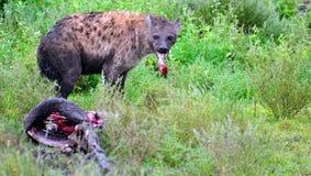 Hyena Kill Stock Photography