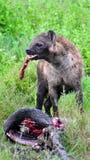 Hyena Kill Stock Image