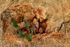 Hyena on kill Royalty Free Stock Photos