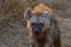 Hyena at Kruger National Park Royalty Free Stock Photos