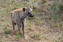 Hyena in Kruger National Park Royalty Free Stock Photo