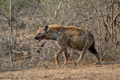 Hyena at kruger national park Stock Image