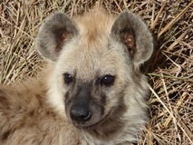 Hyena at kruger Royalty Free Stock Photos