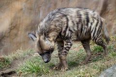 Hyena listrado imagens de stock