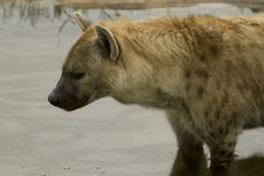 Hyena Royalty Free Stock Images