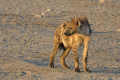 Hyena on the look out. Hyena on the way to drink from waterhole in Etosha National Park, Namibia Stock Photo