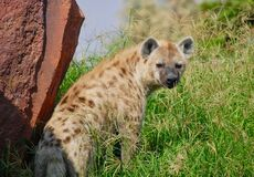 A Hyena looking back in a grassland royalty free stock images