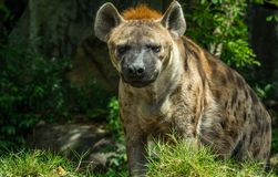 Hyena in a zoo Royalty Free Stock Photos