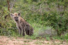 Hyena looking out from the bush. stock photos