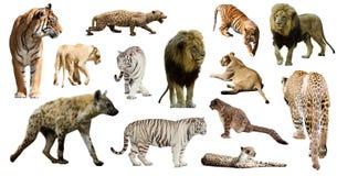 Hyena, luipaard en andere feliformia op wit Royalty-vrije Stock Afbeelding