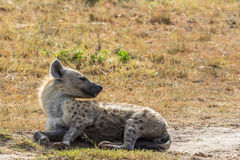 Hyena lying down on the ground Royalty Free Stock Image