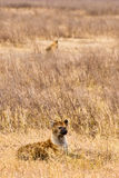 Hyena lying in the grass. Of the serengeti Royalty Free Stock Photography
