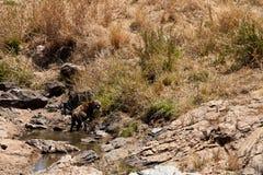 Free Hyena Lying In A Pool Royalty Free Stock Photo - 24353225