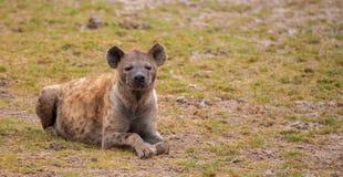 Hyena is lying and watching, on safari in Kenya. Green grassland stock images