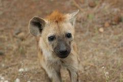 Hyena macchiato Fotografie Stock Libere da Diritti