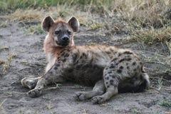 Hyena macchiato Fotografia Stock