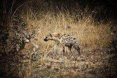 Hyena macchiato Immagine Stock Libera da Diritti