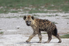 Hyena manchado Imagem de Stock