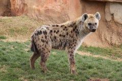 Hyena manchado Imagenes de archivo