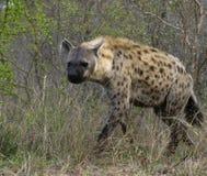 Hyena manchado Fotos de archivo