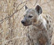 Hyena manchado imagen de archivo