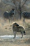 Hyena manchado com zebra fotografia de stock royalty free