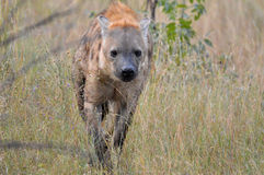 Hyena manchado (crocuta do Crocuta) Imagem de Stock Royalty Free