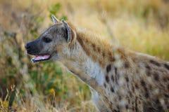 Hyena manchado (crocuta do Crocuta) Fotografia de Stock