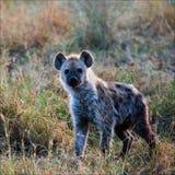Hyena manchado joven. Imagen de archivo libre de regalías