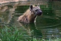 Hyena manchado na lagoa Imagens de Stock