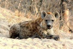 Hyena manchado que encontra-se no Sun Fotografia de Stock
