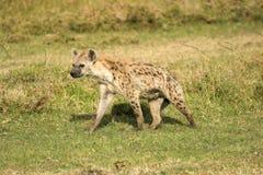 Hyena in masai mara Royalty Free Stock Images
