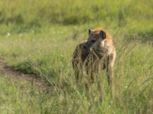 Hyena in masai mara national park kenya Royalty Free Stock Photography