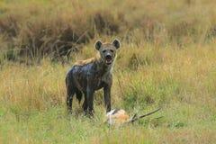 Hyena med hennes rov royaltyfri bild