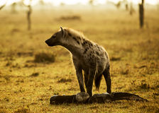 Hyena med kött Arkivbild