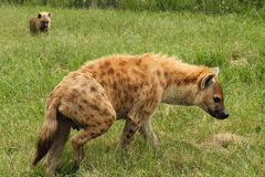 Hyena met kind Stock Foto