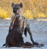 Hyena met prooi Stock Foto's